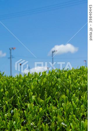 新緑の茶畑 青空 39840445