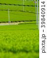 新緑の茶畑 39840914