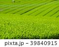 新緑の茶畑 39840915