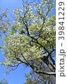 春 ツツジ 花の写真 39841229