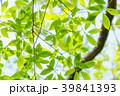 新緑 葉 春の写真 39841393