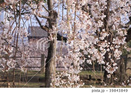 福岡・舞鶴公園のしだれ桜 39843849