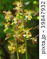 黄海老根 黄蝦根 花の写真 39847932