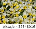 ビオラ スミレ科 植物の写真 39848016