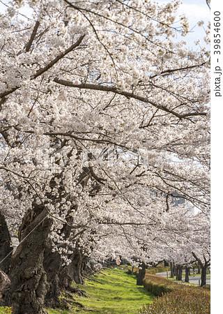 開成山公園「日本最古級のソメイヨシノ」明治11年1878年に植樹された樹齢100年を超える満開の桜 39854600