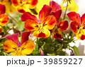 ビオラ 花 植物の写真 39859227