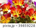 ビオラ 花 植物の写真 39859228