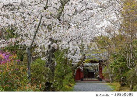常照寺と桜 39860099