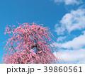 梅花(いなべ市梅林公園)三重県 39860561