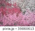 梅花(いなべ市梅林公園)三重県 39860613