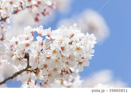 桜の花 39860851