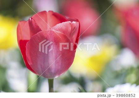 チューリップの花 39860852