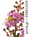 開花 花 植物の写真 39861459