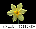 ラッパスイセンの花 黒バック撮影 39861480