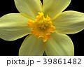 ラッパスイセンの花 黒バック撮影 39861482