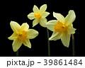 ラッパスイセンの花 黒バック撮影 39861484
