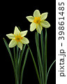 ラッパスイセンの花 黒バック撮影 39861485
