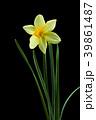 ラッパスイセンの花 黒バック撮影 39861487