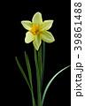 ラッパスイセンの花 黒バック撮影 39861488