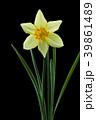 ラッパスイセンの花 黒バック撮影 39861489