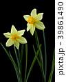 ラッパスイセンの花 黒バック撮影 39861490