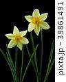 ラッパスイセンの花 黒バック撮影 39861491