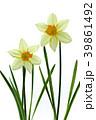 ラッパスイセンの花 白バック撮影 39861492