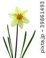 ラッパスイセンの花 白バック撮影 39861493