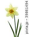 ラッパスイセンの花 白バック撮影 39861494