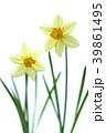ラッパスイセンの花 白バック撮影 39861495