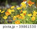 花 植物 ポピーの写真 39861530