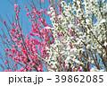 桃 桃の花 紅白の写真 39862085