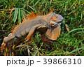 イグアナ は虫類 ハ虫類の写真 39866310