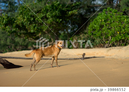 Island Dog running at the Lazy Beach shore 39866552