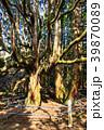 高森殿の杉 杉 巨木の写真 39870089