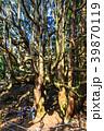 高森殿の杉 杉 巨木の写真 39870119
