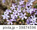 芝桜 花 花詰草の写真 39874596