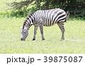 動物 野生動物 陸上動物の写真 39875087
