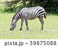 動物 野生動物 陸上動物の写真 39875088