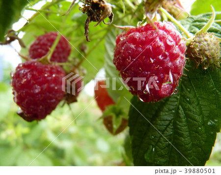 Close Up Macro of Water Red Raspberry Fruit Bush 39880501