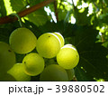 Close Up of Ripe Grape Cluster on Vine 39880502