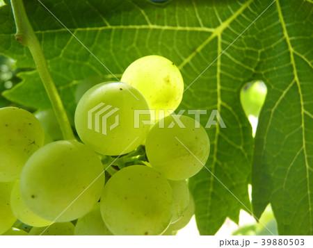 Close Up of Ripe Grape Cluster on Vine 39880503