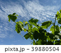 Close Up Macro of Grape Vine Branches 39880504