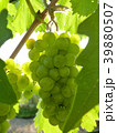 Close Up of Ripe Grape Cluster on Vine 39880507