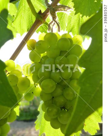 Close Up of Ripe Grape Cluster on Vine 39880507