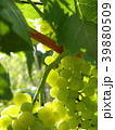 Close Up of Ripe Grape Cluster on Vine 39880509