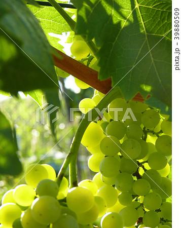 Close Up of Ripe Grape Cluster on Vine 39880509