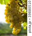 Close Up of Ripe Golden Grape Cluster on Vine 39880510