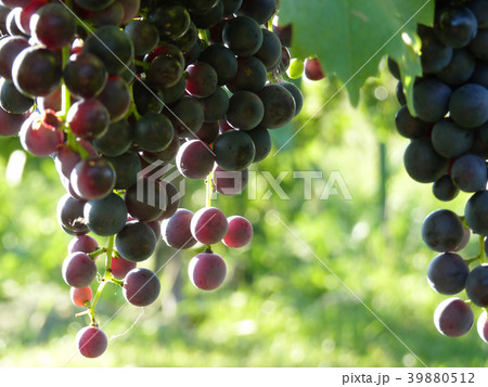 Close Up of Blue Grape Cluster in Sunset 39880512