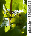Close Up of Ripe Grape Cluster on Vine 39880513
